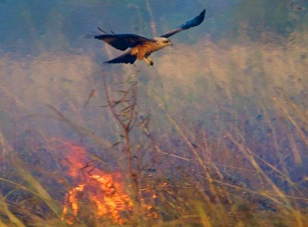 Kahverengi doğan ya da ıslık çaylağı gibi yırtıcı türler alevli ağaç parçalarını ormanda yanmaya uygun noktalara götürüp bırakıyorlar.
