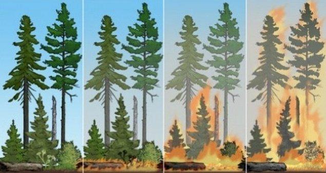 Çam ağaçları için yalgının bir tetikleyici özelliği de kozalaklarla ilgili.