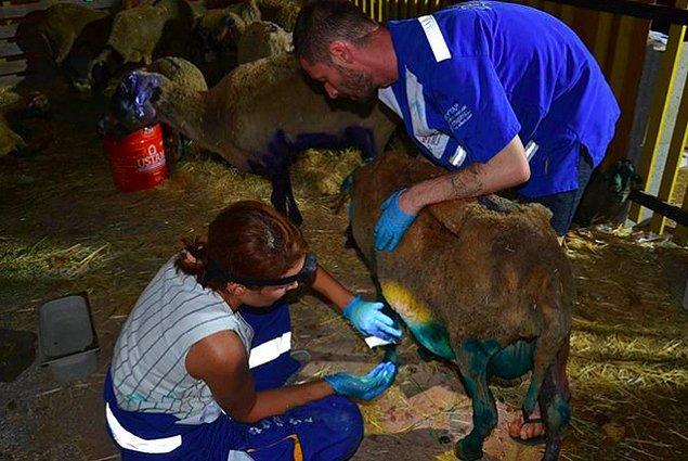 Hayvan Hakları Federasyonu HAYTAP yangında yaralanan hayvanları tedavi ediyor.