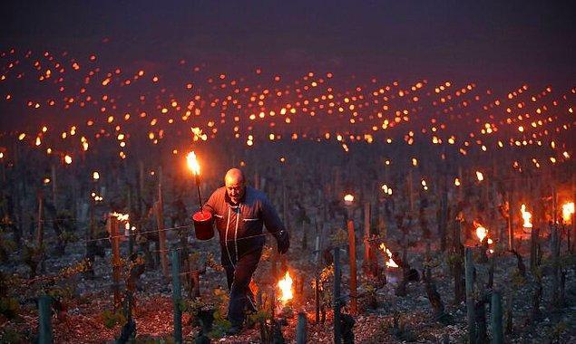 15. Fransız çiftçiler soğuk gecelerde bağlarını kurtarmak için ateş kullanıyorlar.