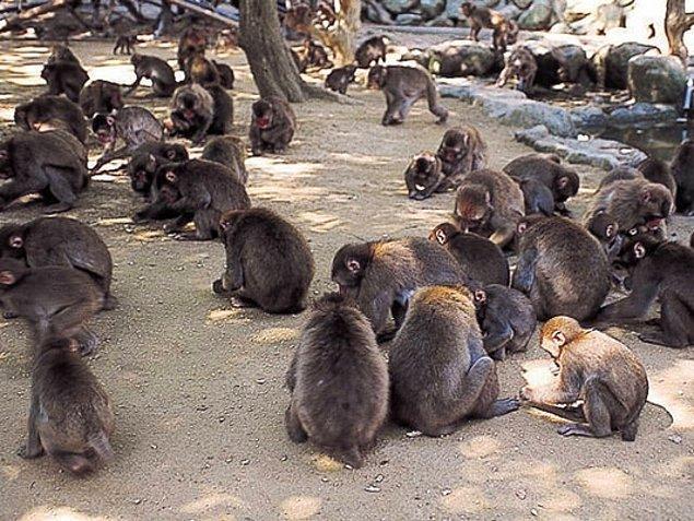 """Hayvanat bahçesinde görevli 47 yaşındaki Tadatoshi Shimomura, """"Normalde dişi maymunlar erkeklere karşı durmaz."""" der ve gördükleri karşısındaki şaşkınlığı gizlemez."""