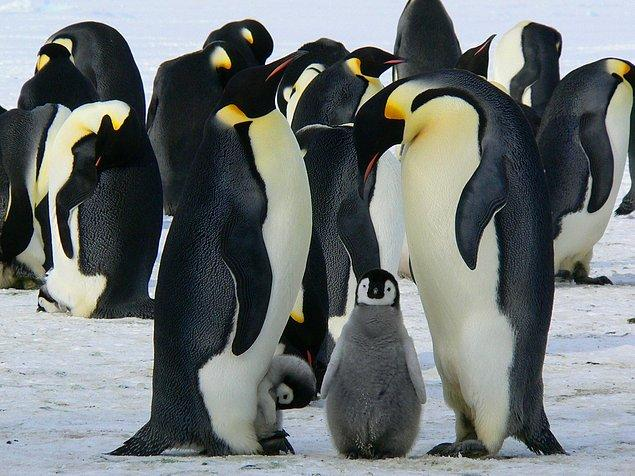 İmparator penguenler çok dar bir yaşam alanına sahip.