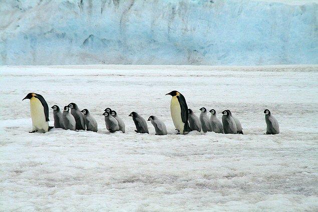 İmparator penguenler için en büyük tehdit ise  iklim değişikliği...