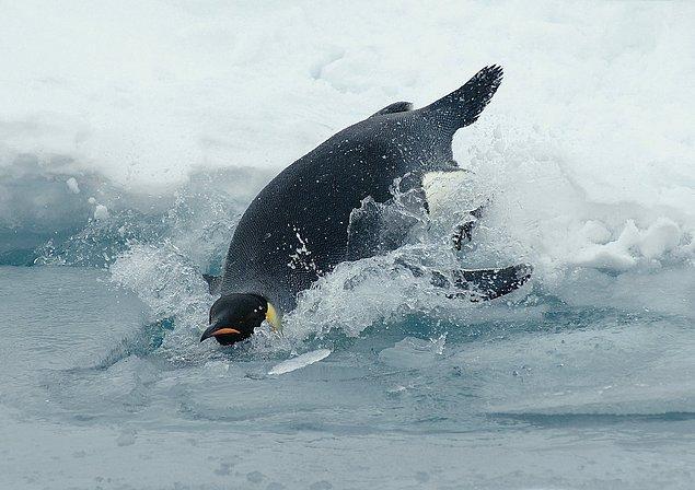 Deniz buzu olmadan penguenlerin hayatta kalması pek mümkün değil.