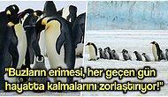 Küresel Isınmadan Dolayı En Sevdiğimiz Canlılardan Olan İmparator Penguenlerin Nesli de Tehdit Altında