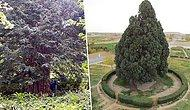 Biz Gideriz Onlar Kalır: Binlerce Yıldır Tarihe Tanıklık Eden Dünyanın En Yaşlı Ağaçları