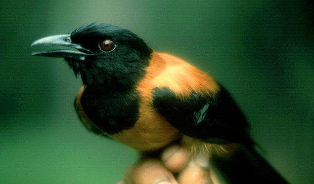 Ancak batrakotoksin bileşenini salgılayan kuşlar ve amfibiler böyle yapmıyor.