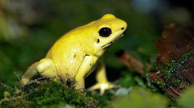 Altın zehirli ok kurbağasının derisindeki bezler aracılığıyla dışarıya bir miligram batrakotoksin salgıladığı düşünülüyor.