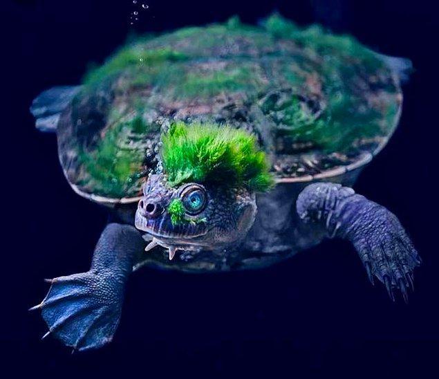 6. Algler kaplumbağayı yuvaları olarak belirledikten sonra bir punk kültürü mü oluşturmuş, ne olmuş?