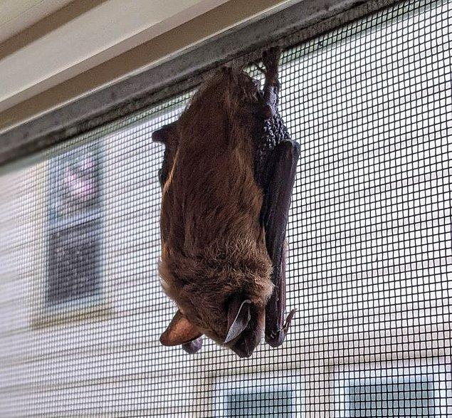 """7. """"Bu sabah balkon camımda uyuyan bir yarasa buldum. Tel ve camın arasına nasıl girdi hiçbir fikrim yok."""""""