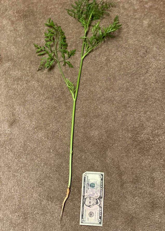 """10. """"Bahçemde yetişen havuçlardan biri, sebzesini oluşturmak yerine bütün enerjisini sap ve yapraklarına harcamaya karar vermiş."""""""