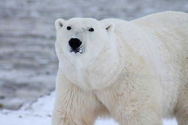 5. Kutup ayısı karaciğeri yerseniz ölürsünüz. Bunun nedeni kutup ayılarının karaciğerlerinde bir insanın kaldıramayacağı kadar fazla A vitamini bulunmasıdır.