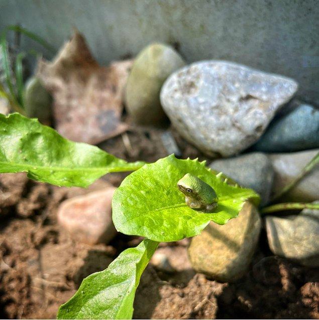 14. Bu minik kurbağa yaprağın üstüne tünemiş bekliyor.