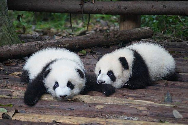 6. Pandaların genellikle ikiz olarak doğar, ancak genellikle anneleri yalnızca birine bakabilir, bu nedenle diğeri terk edilir.