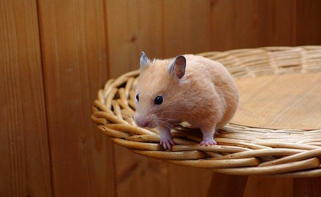 11. Anne hamsterler bazen yeni doğan bebeklerini yerler.