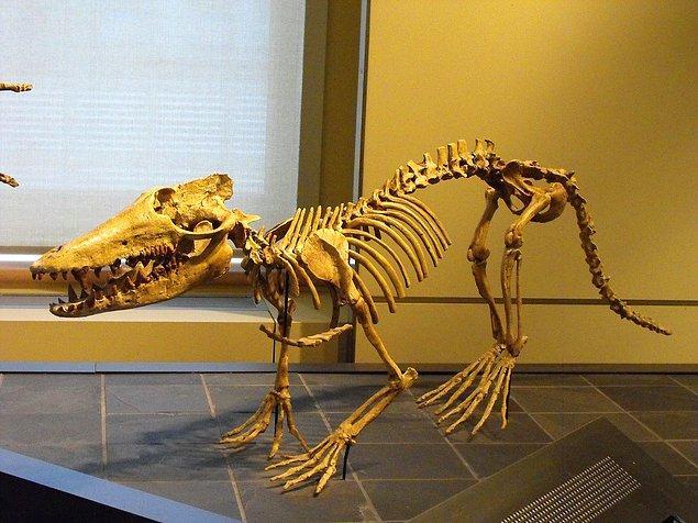 Pakiceditae ailesinin arkaik türlerinden birisi olan Himalayacetus'un kalıntıları, Kanada Doğa Müzesi'nde sergilenmektedir: