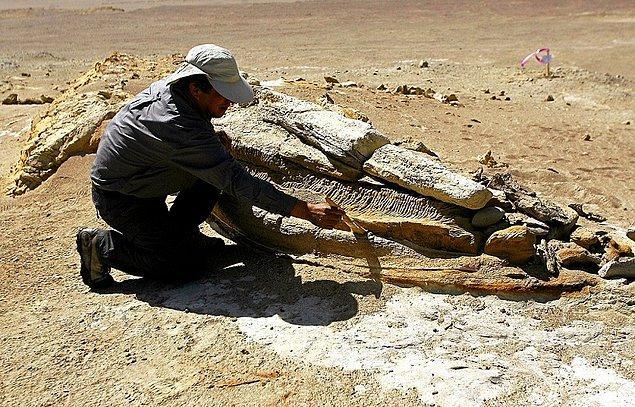 Peru'da 2011 yılında bulunan kalıntılar, Hindistan ve Pakistan'da ilk balina türlerinin bulunmasından yaklaşık 10 milyon yıl içerisinde batıya doğru ilerlediklerini gösteriyor.
