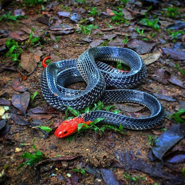 6. Parlak yılan