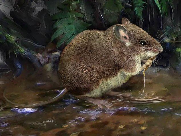 11. Uzun bacaklı su faresi