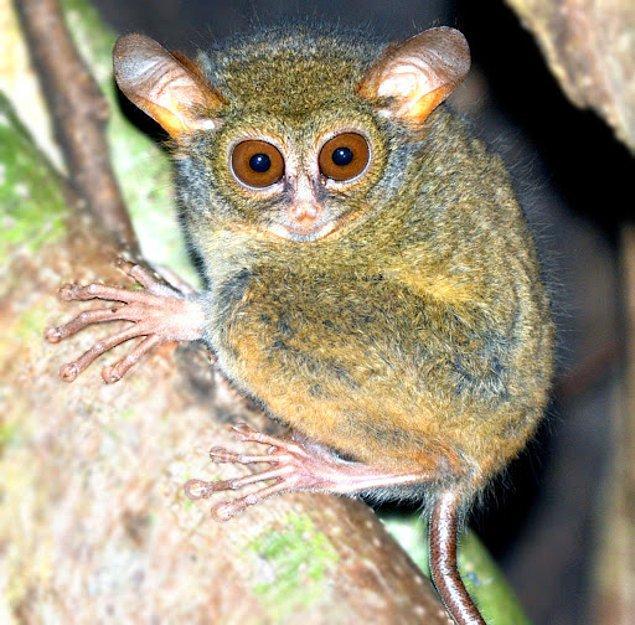 12. Kısa bacaklı tarsier