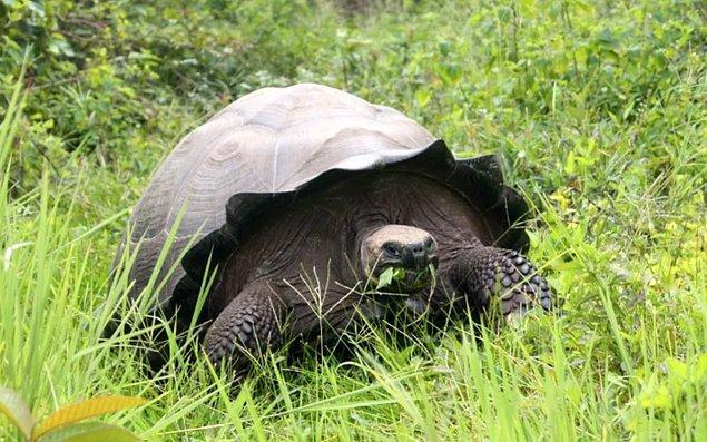 5. Doğu Santa Cruz kaplumbağası