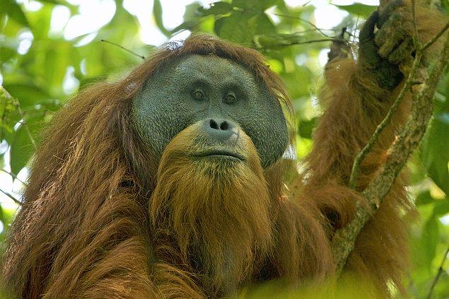 19. Tapanuli orangutanı