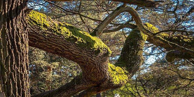 Taşların ve ağaçların yosunlu tarafı kuzeyi gösterir ama...
