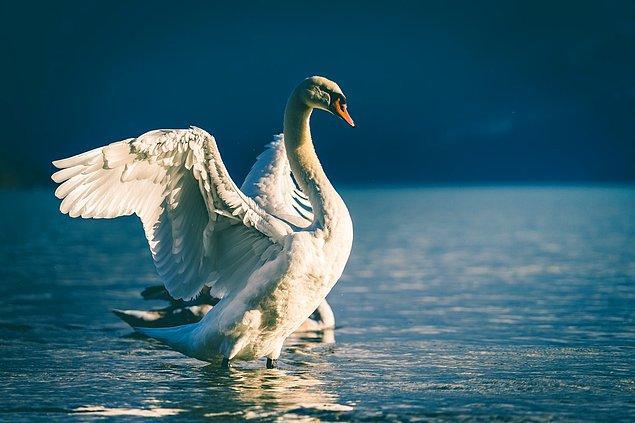 8. İngiltere'deki bütün kuğular kraliçeye aittir ve yılın belli zamanında 'Swan Upping' töreniyle birlikte Thames Nehri'ne salınır.