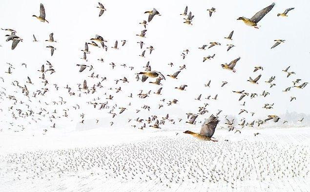 19. Pembe Ayaklı Kazların Kışla Buluşması - Terje Kolaas (Yılın Fotoğrafı)