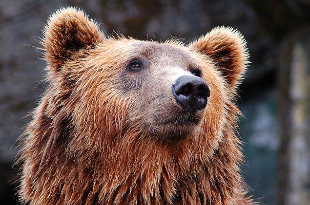 1995'ten sonra doğan ayılarda antibiyotik direncinin daha düşük olduğu saptandı.