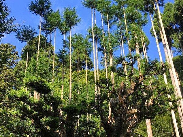Japoncada 'sürdürülebilir ormancılık' anlamına gelen Daisugi, 14 veya 15. yüzyılda Kyoto'da ortaya çıkan bir teknik.