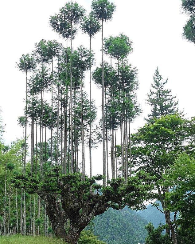 Ağacın meyvesi ağaç mantığı ile ilerleyen bu teknikte Japonlar önce Japon sedir ağaçları dikmişler ve daha sonra bu ağaçları belirli geometrik biçimlerde budamışlar.