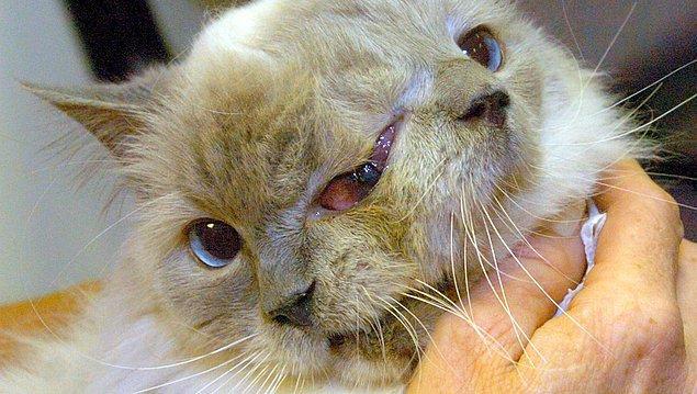 7. Frank ve Louie ismindeki kedi, diprosopustan dolayı iki yüz, üç göz, iki burun ve iki ağızla doğmuştur.