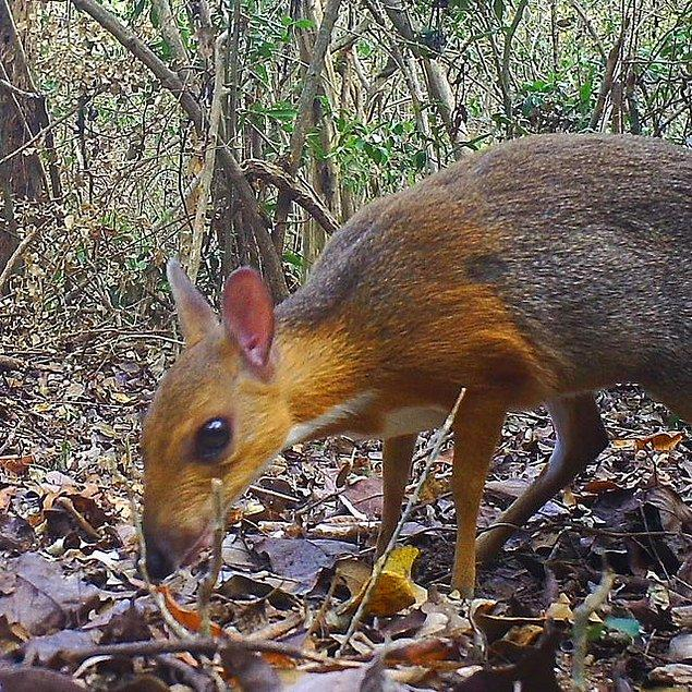 8. Vietnam Savaşı'ndan bu yana 30 yıldır ortadan kaybolan ancak geçtiğimiz günlerde tekrar görüntülenebilen fare geyiği: