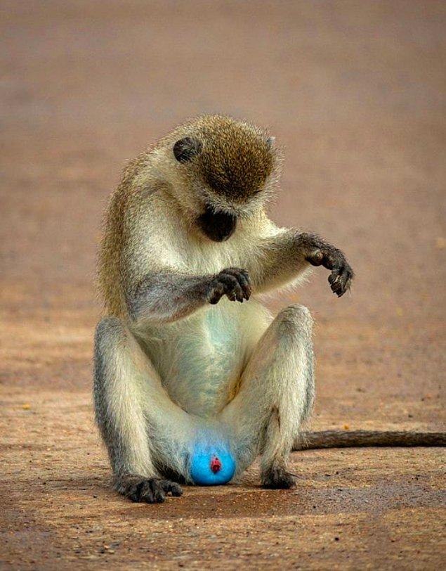 11. Vervet maymunlarının testisleri mavidir.