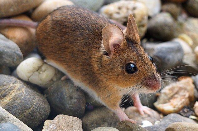Araştırmacılar odun faresi ve maskeli sivri farelerin kuyruklarının da uzadığını bildiriyor.