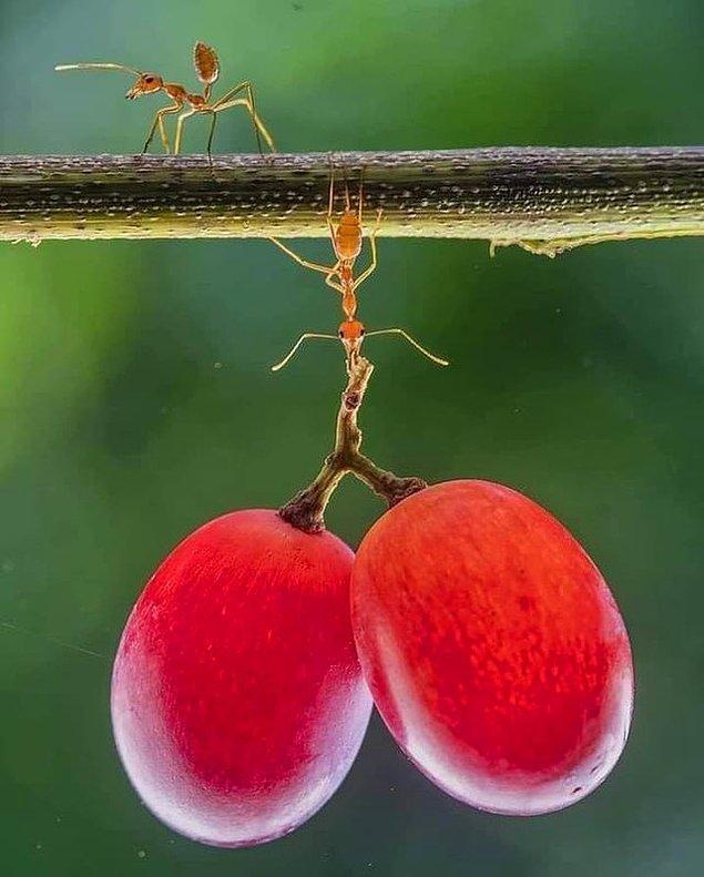 7. Karıncalar kendi ağırlıklarının 5 bin katı ağırlığı taşıyabiliyorlarmış.
