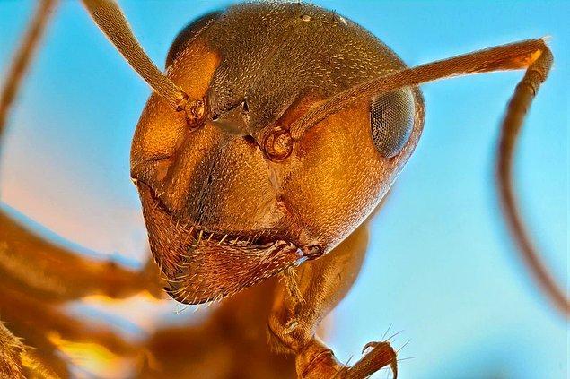 1. Kırmızı orman karıncasına bir de böyle bakın.