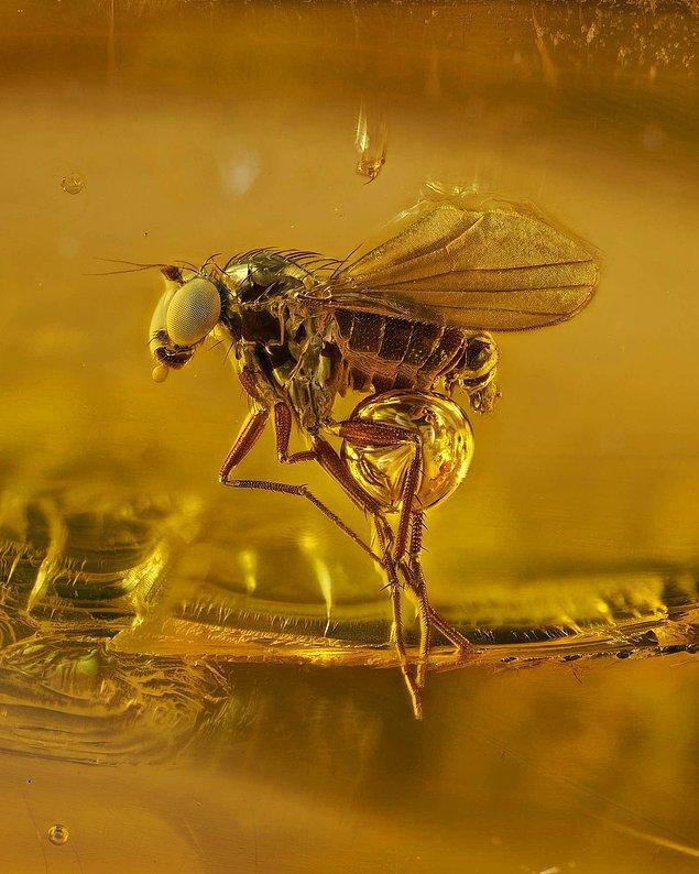 7. 40 milyon yaşındaki bir sivrisinek baltık kehribarı içinde.