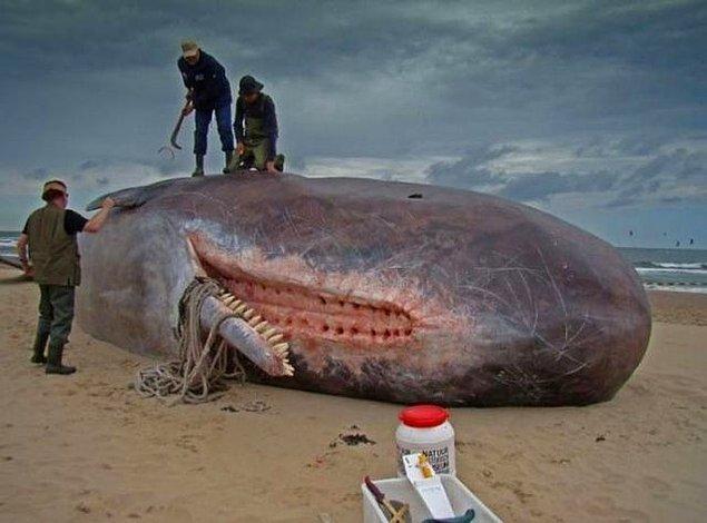 4. İspermeçet balinalarının üst çenelerinde diş yoktur. Bunun yerine alt çenelerindeki dişlerin yerleşebilmesi için üst çenelerinde delikler vardır.