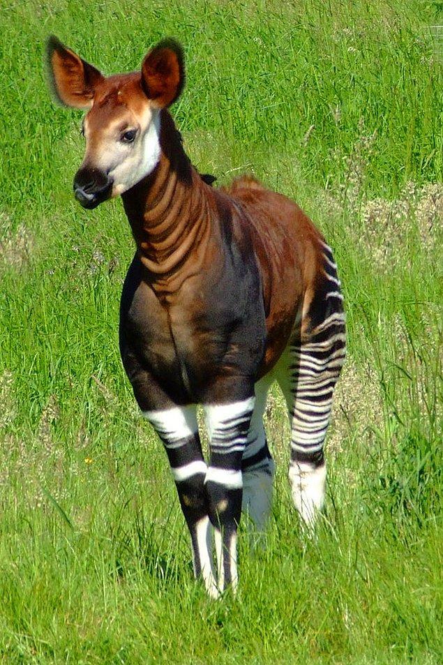 14. Zürafaların yaşayan tek akrabası olan bir Okapi: