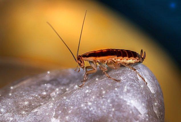 7. Hamam böcekleri kafaları kopsa bile haftalarca hayatta kalabilir.