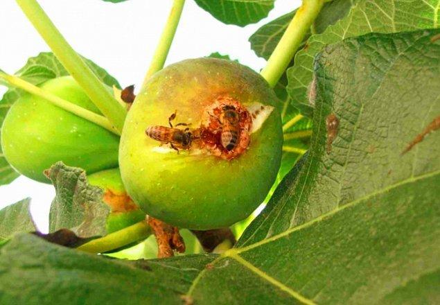 Yaban arısı dişi incire girdiği zaman ise onu tozlaştırsa da yumurtalarını bırakamadığı için yalnız ölür.