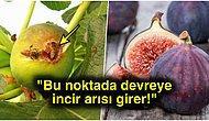 Yazın En Güzel Meyvesi İncirin Arılarla Olan İlginç İlişkisini Öğrenince Bir Miktar Şok Olabilirsiniz
