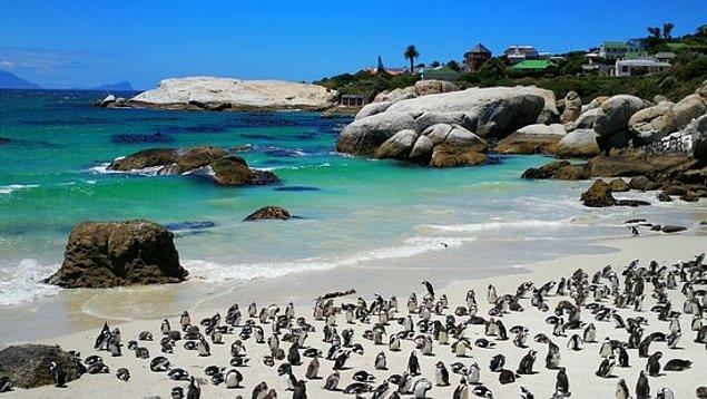 """Güney Afrika'nın ulusal parklarında deniz biyologu olarak çalışan Dr. Alison Kock """"Penguenler ve arılar genellikle bir arada yaşıyorlar"""" diyor."""