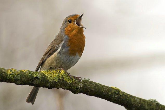 6. Kuşların içi delikli kemiklere sahip olmasının temel sebebi onları daha hafif yapmak değil, daha iyi nefes alabilmelerini sağlamaktır.