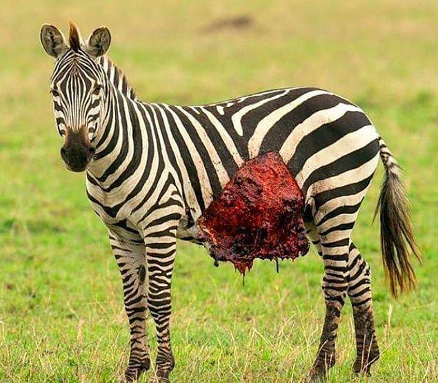 2. Ölümcül bir yara alan zavallı zebra: