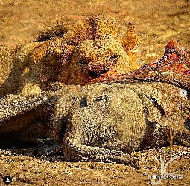7. Henüz bebek olan bir fili katlederek karnını doyuran bu ürkütücü aslan: