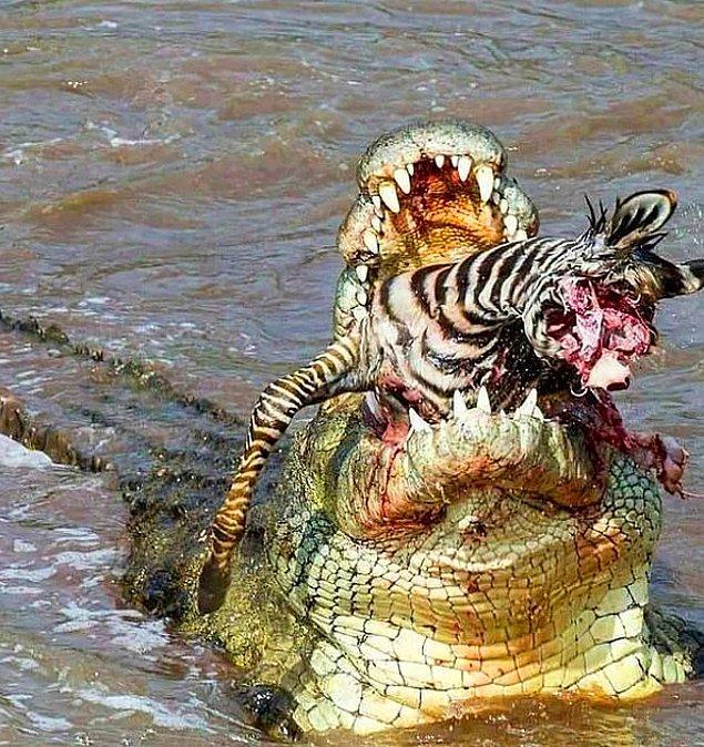 8. Ortalama bir Nil timsahı yılda 50 öğün yemek yer ve her yıl ortama 200 insan bu timsahların saldırısıyla hayatını kaybeder.