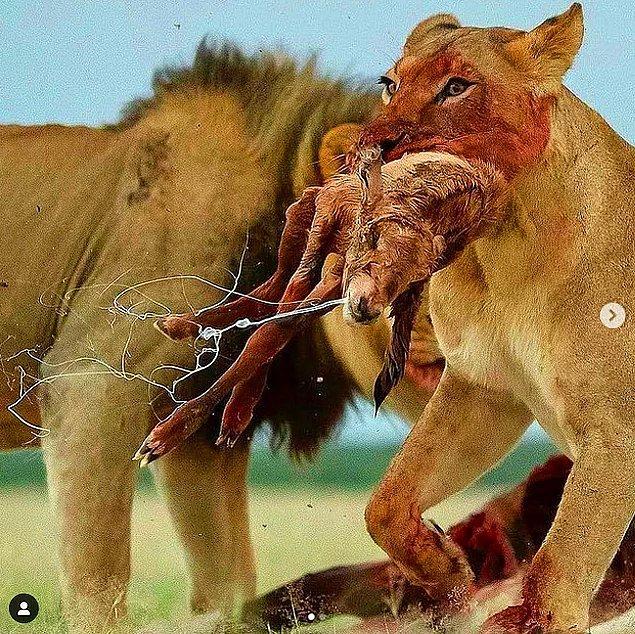 10. Aslanlar, erkek çitaların dışında grup halinde yaşayan tek kedigillerdir.
